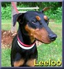 Lollipop_german_pinscher