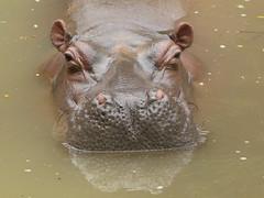 Hipopótamo-          Hippopotamus amphibius