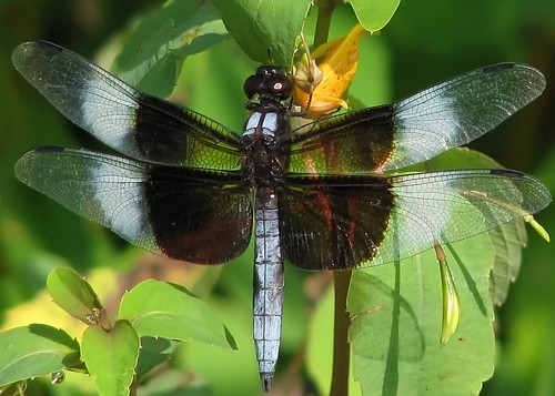 Widow skimmer on jewelweed