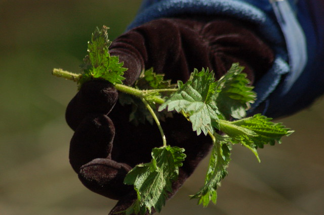 Elizabeth holds up some stinging nettle