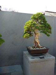 tree, plant, sageretia theezans, houseplant, bonsai,