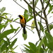 Small photo of Yellow-backed Oriole (Icterus chrysater)