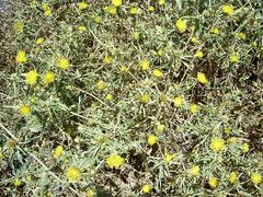 annual plant, evergreen, shrub, flower, yellow, plant, subshrub, flora, rue, groundcover,