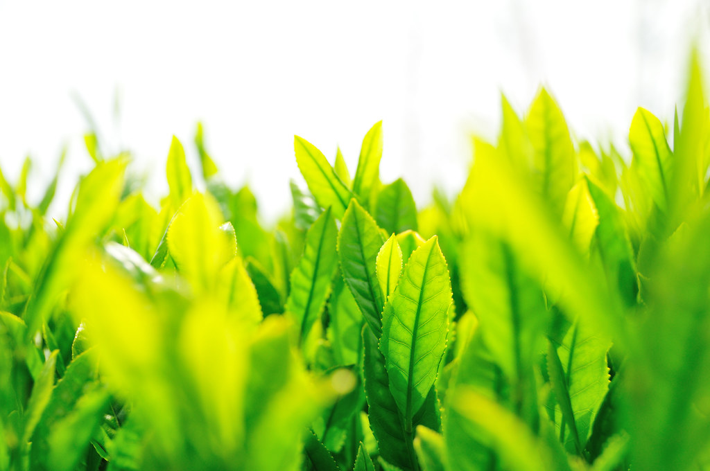Tea plantation_18