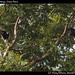 Howler monkeys, Costa Roca