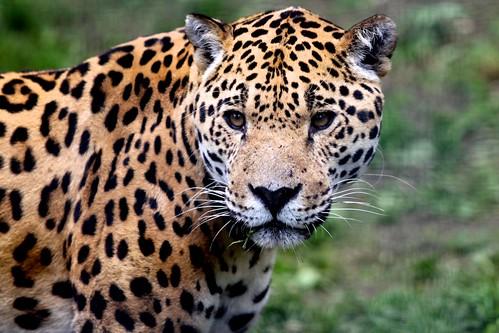 美洲豹是唯一的美洲原生豹屬動物。(圖:Michael Ransburg)