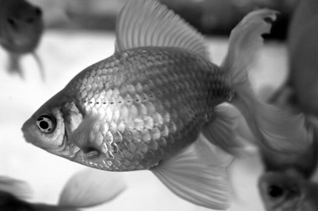 Goldfish in Black and White | Flickr - Photo Sharing!
