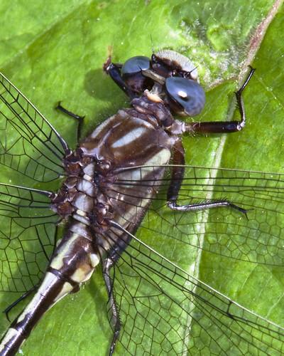 insect dragonfly nj animalportrait bearswamp kh0831
