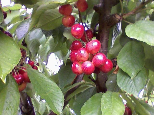 Rainier cherries flickr photo sharing - Romanian cherry tree varieties ...