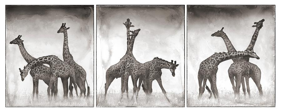Triptych Photography Flickr 30 Giraffe Triptych Flickr