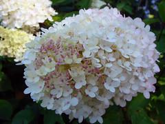guelder rose(0.0), lilac(0.0), annual plant(1.0), blossom(1.0), shrub(1.0), flower(1.0), hydrangea serrata(1.0), plant(1.0), flora(1.0), hydrangeaceae(1.0), petal(1.0),