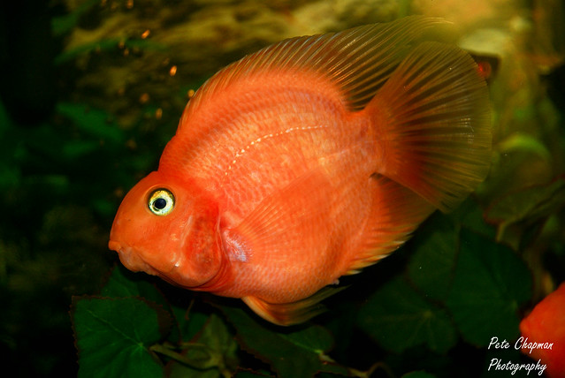 Blood parrot cichlid flickr photo sharing for Blood parrot fish