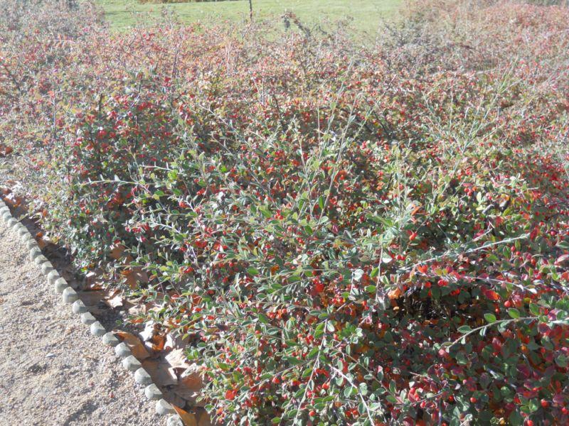 Cotoneaster wardii en noviembre
