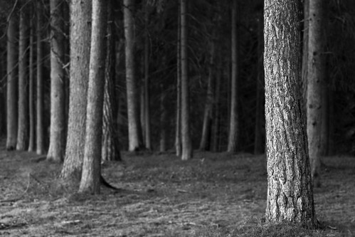 white black tree pine woods sweden trunks östergötland canon50mmf14usm getå canoneos7d