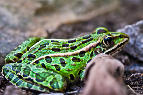 summer brown ontario green nature rural daylight jasper natural farm country frog 2010 leopardfrog ranapipiens