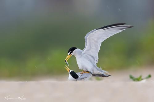 Tern Love
