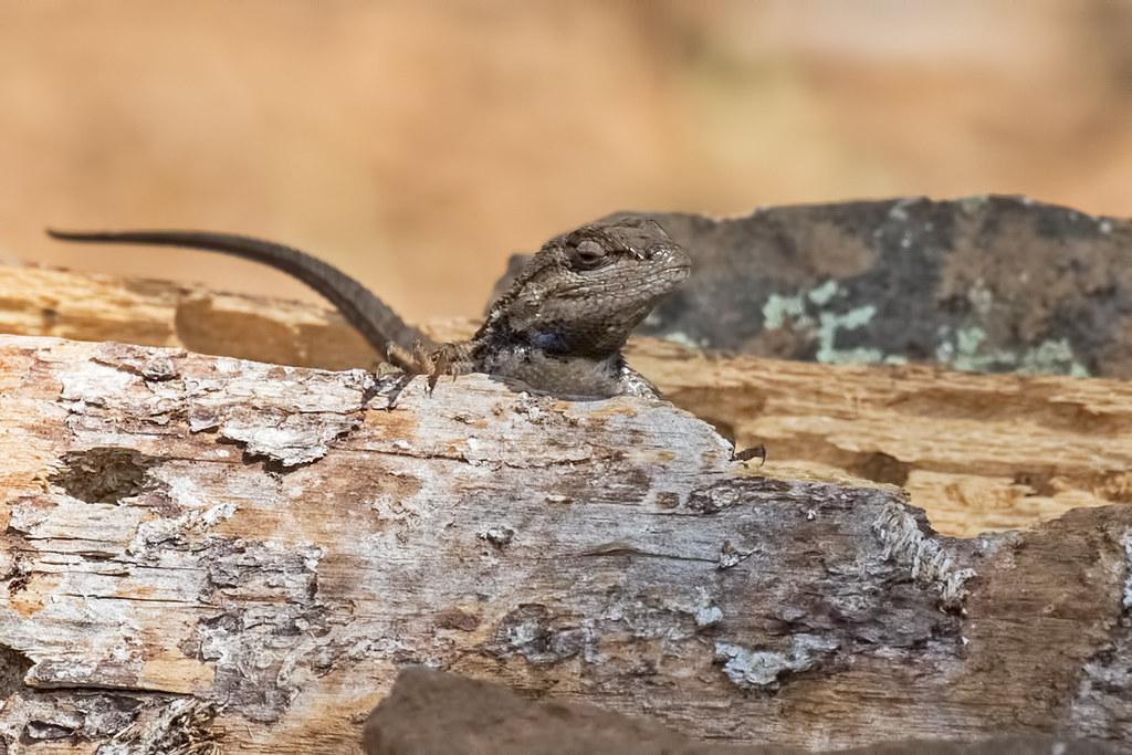 Lizard-14-7D2-063017
