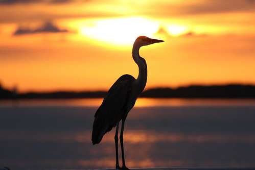 sunset ft desoto st pete florida boat ramp bird heron sun golden sundown tampa bay