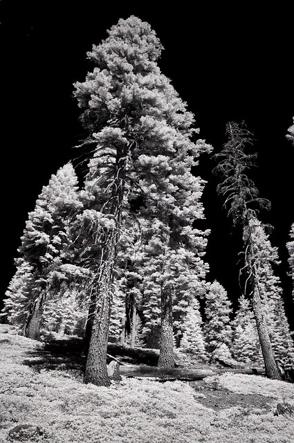 trees on Mount Shasta