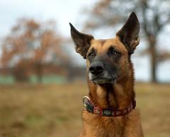 german shepherd dog(0.0), carolina dog(0.0), street dog(0.0), wolfdog(0.0), saarloos wolfdog(0.0), dog breed(1.0), animal(1.0), dog(1.0), pet(1.0), mammal(1.0), belgian shepherd malinois(1.0),