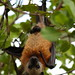 Aldabra Flying Fox (Pteropus aldabrensis)