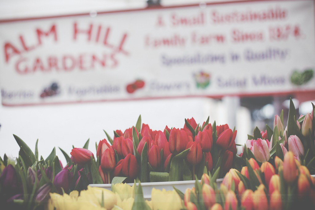 tulips from alm hill gardens
