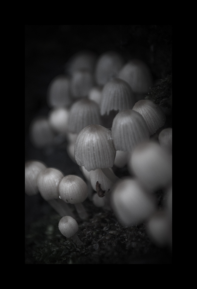 Photography: Fairy Inkcap by Nicholas M Vivian