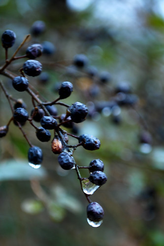 water jones droplets berry nikon berries south southcarolina carolina willie 2010 d60 onceaday nikond60 365project willieleejones twothousandandten 3652010