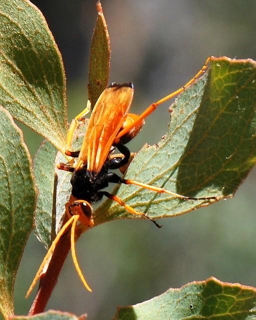Orange spider hunter