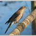 Gavilán - Esparver vulgar - Eurasian sparrowhawk - Accipiter nisus