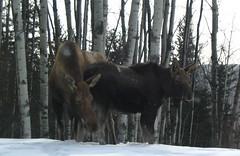 deer(0.0), cattle-like mammal(1.0), winter(1.0), moose(1.0), fauna(1.0), wildlife(1.0),