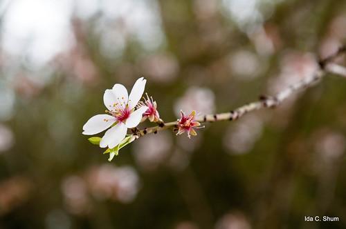 california pink flowers flower macro nature landscape spring nikon seasons bokeh blossoms sakura cherryblossoms ida pleasanton shum d300 floweringtree idashum