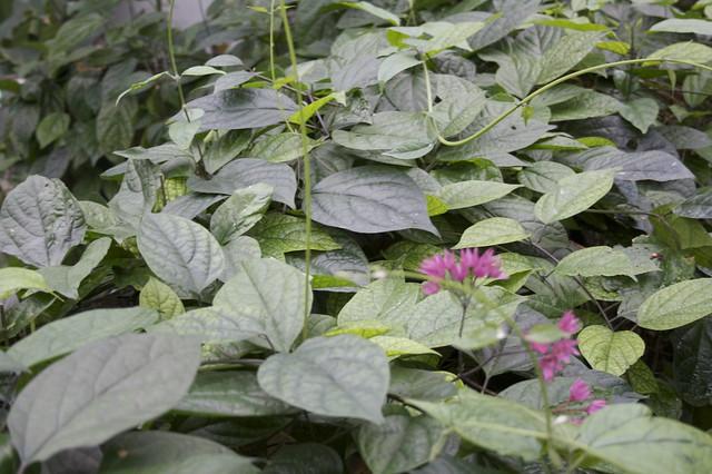Hyacinth beans