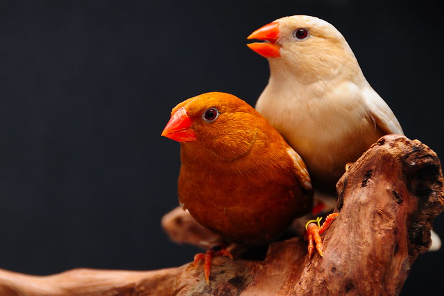 Finches photographed in a 'studio' cage.