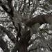 20100302 Shingle Creek Regional Park oak