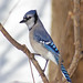 Blue Jay and Steller's Jay - Photo (c) Jen Goellnitz, some rights reserved (CC BY-NC-ND)