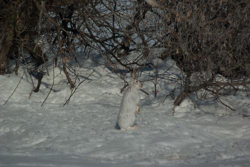 winter canada rabbit geotagged march pentax wildlife saskatchewan woodrow jackrabbit k10d pentaxk10d gmpentaxfan