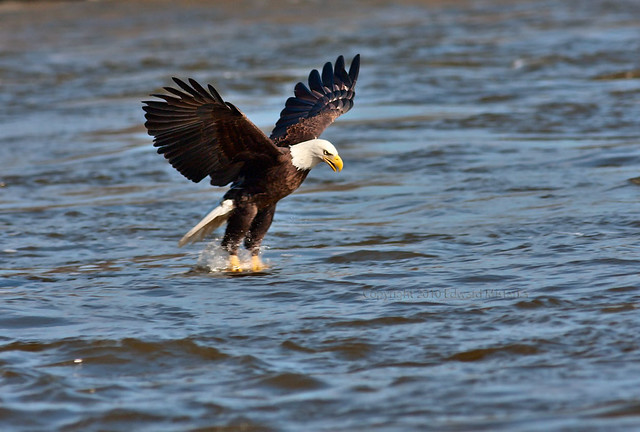 Bald Eagle Catching Fish http://www.flickr.com/photos/edmistarka/4424494122/