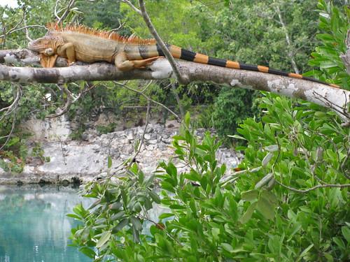 Iguana en Laguna de Chankanaab
