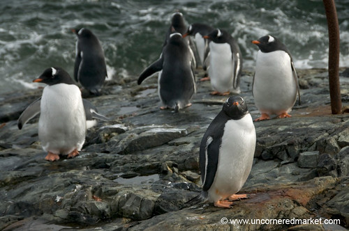 Gentoo Penguins, Wet and Dry - Antarctica by uncorneredmarket