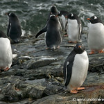 Gentoo Penguins, Wet and Dry - Antarctica