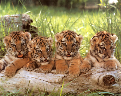 Cute baby tigers | Flickr - Photo Sharing!