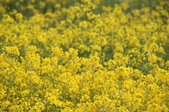 vegetable(0.0), food(0.0), canola(1.0), flower(1.0), field(1.0), yellow(1.0), mustard plant(1.0), brassica rapa(1.0), plant(1.0), mustard(1.0), produce(1.0), rapeseed(1.0),