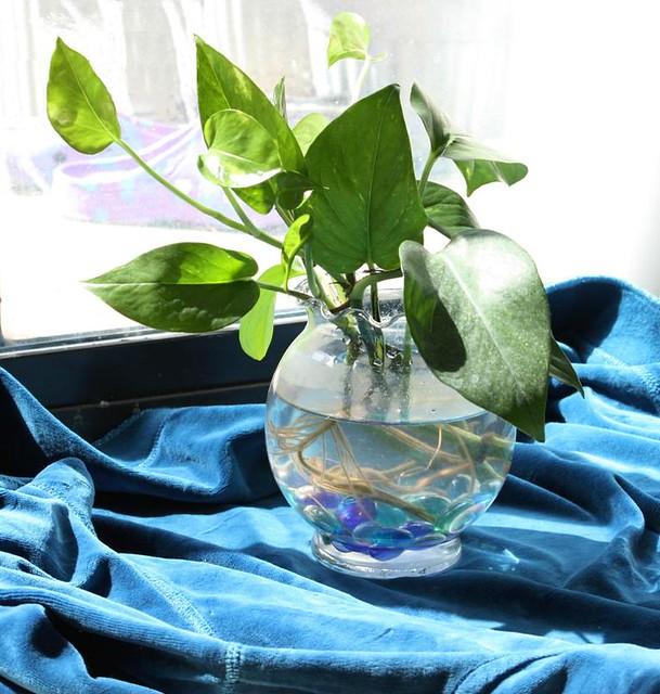 Indoor Plants Grown In Water: Still Life - Pothos Plant In Glass Vase