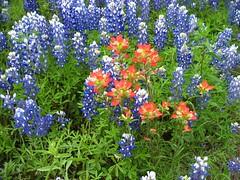 annual plant, shrub, flower, plant, wildflower, flora, meadow, bluebonnet,