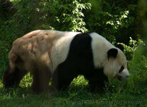 animal geotagged zoo dc washington districtofcolumbia panda nationalzoo endangered giantpanda tiantian pandabear meixiang endangeredspecies vicenç smithsoniannationalzoologicalpark tamron200400 nikond80 feliú sabreur76 vicençfeliú geo:lat=38930846 geo:lon=77052602