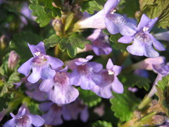 blossom(0.0), annual plant(1.0), flower(1.0), plant(1.0), macro photography(1.0), wildflower(1.0), flora(1.0), glechoma hederacea(1.0),