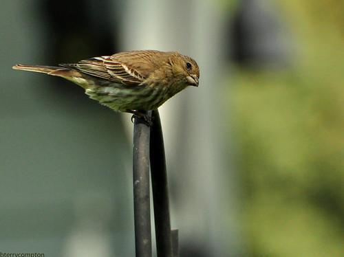 bird feeder poles