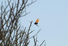 Tarantula Hawk (Pepsis thisbe)
