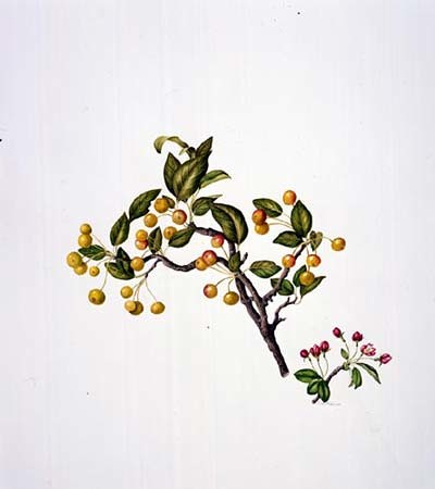 Rose Pellicano, Malus hupehensis Watercolor, 9/10/02 © Copyright Brooklyn Botanic Garden